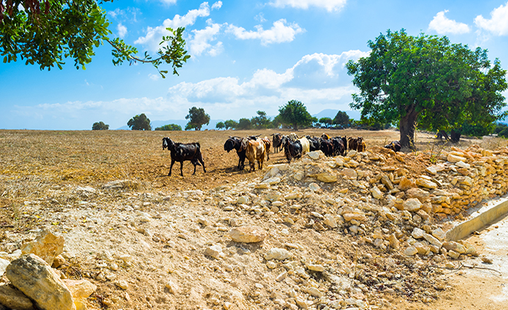 http://www.dreamstime.com/royalty-free-stock-photography-goats-herd-walks-along-road-neo-chorio-cyprus-image48129127