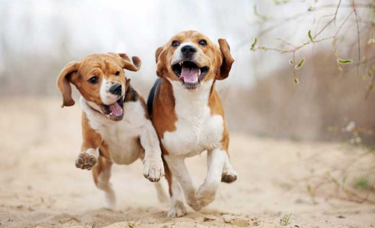 Two funny beagle dogs running in spring together