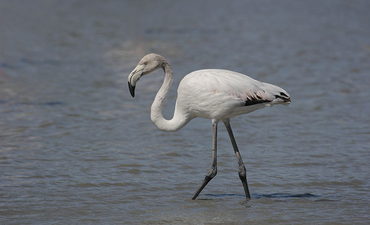 grey-flamingo2